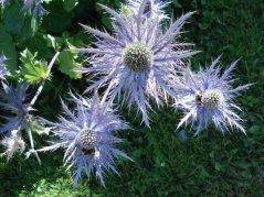 Blume11.jpg