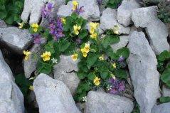 Blume9.jpg